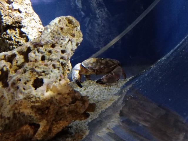 スベスベマンジュウガニの画像 p1_39